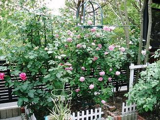 裏庭のバラ